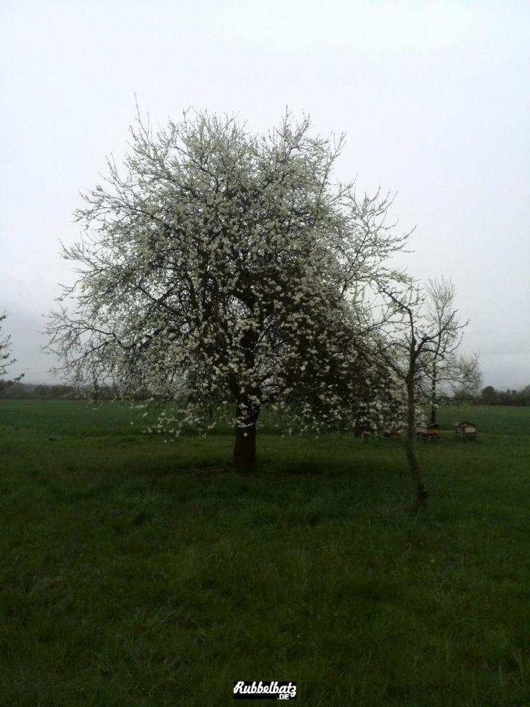 Der Zwetschgenbaum, den es schon gibt, seit Mama klein war, blüht.