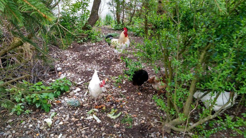 Tägliches Highlight für den Rubbelbatz: endlich Hühner auch in Realität sehen!