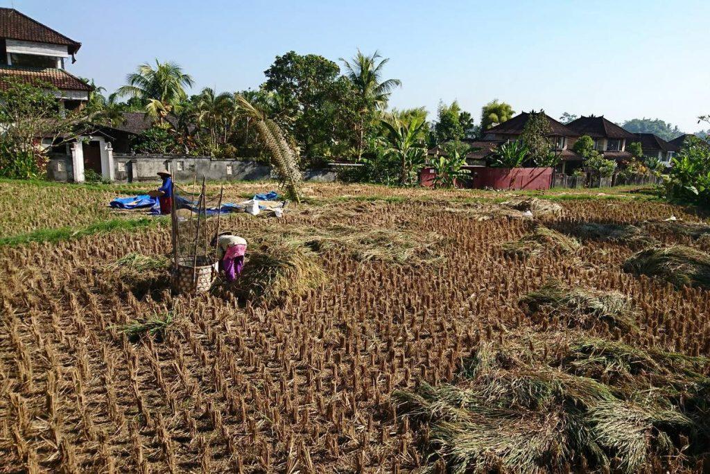 Reisfeld-Arbeiten in Ubud Bali