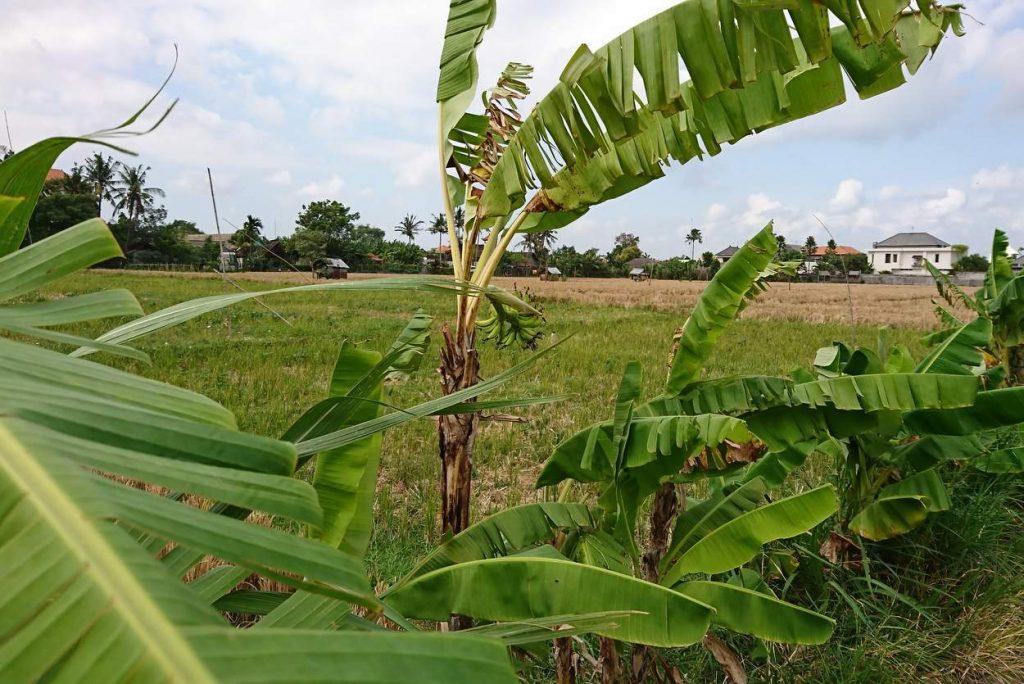 Palmen im Reisfeld von Ubud auf Bali